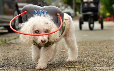 Halo protege cães cegos para caminhar